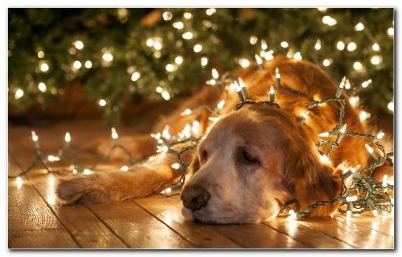 Image Dog Golden Retriever Retriever Hunting Dog Christmas