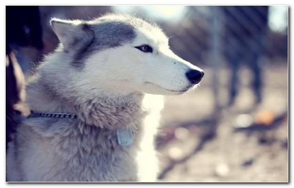 Image Dog Husky Sakhalin Husky Siberian Husky The Siberian Husky