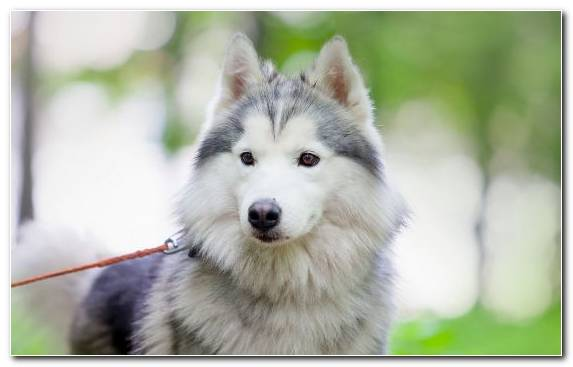 Image Dog Like Mammal Siberian Husky Native American Indian Dog Dog Breed Group Dog Breed