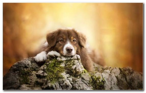 Image Dog Like Mammal Word Dog Breed Group Nova Scotia Duck Tolling Retriever Snout