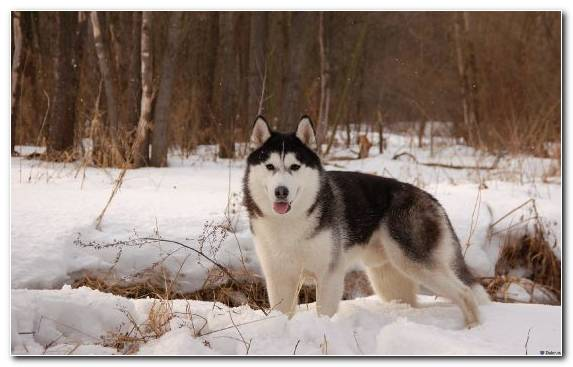 Image Dog Like Mammal Alaskan Husky Sled Dog Seppala Siberian Sleddog Sled Dog Racing
