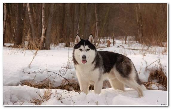 Image Dog Like Mammal Alaskan Husky Sled Dog Seppala Siberian Sleddog Sled Dog Racing