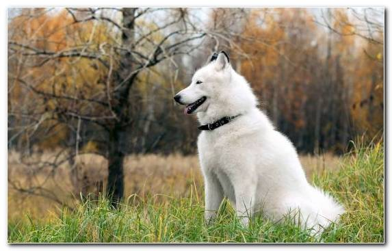 Image Dog Like Mammal Canadian Eskimo Dog Sakhalin Husky Husky American Eskimo Dog