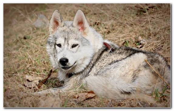 Image Dog Like Mammal Canis Lupus Tundrarum Sakhalin Husky Mammal Saarloos Wolfdog