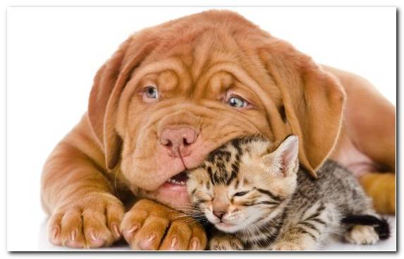 Image Dog Like Mammal Dog Bite Pet American Bobtail Kitten