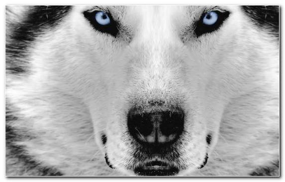 Image Dog Like Mammal Dog Breed Black And White Siberian Husky Puppy