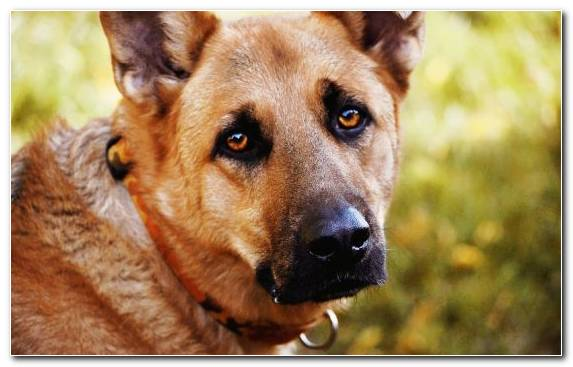 Image Dog Like Mammal Dog Breed Group Old German Shepherd Dog Snout Puppy