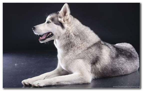 Image Dog Like Mammal Dog Breed Group Puppy Dog Breed Norwegian Elkhound