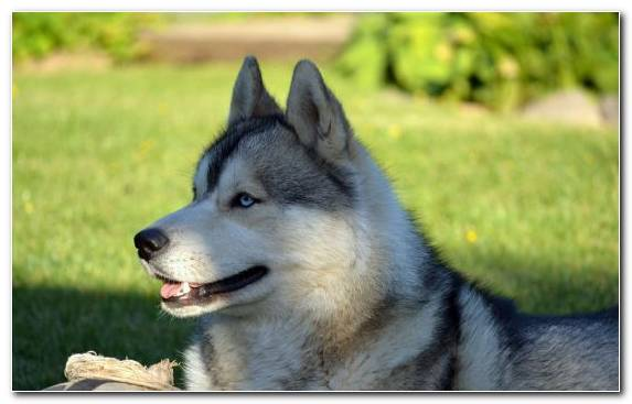 Image Dog Like Mammal East Siberian Laika Grasses Sled Dog Alaskan Klee Kai