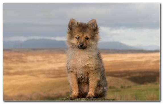 Image Dog Like Mammal German Spitz Mittel American Eskimo Dog Beagle Pomeranian