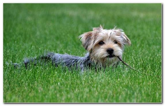 Image Dog Like Mammal Morkie Dog Grooming Snout Norfolk Terrier