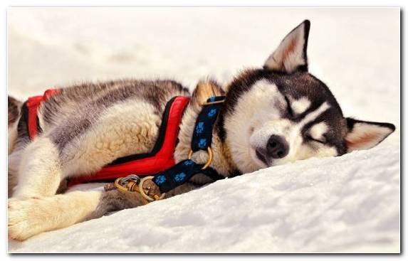 Image Dog Like Mammal Mushing Dog Dog Breed Group Sleep