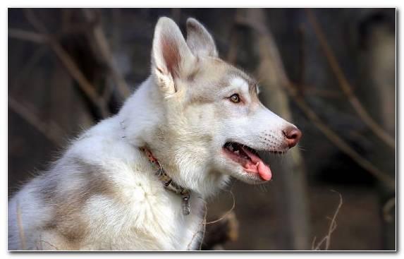 Image Dog Like Mammal Native American Indian Dog Canadian Eskimo Dog Dog Siberian Husky