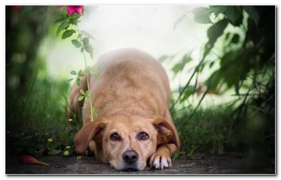 Image Dog Like Mammal Puppy Companion Dog Dog Breed Group Retriever