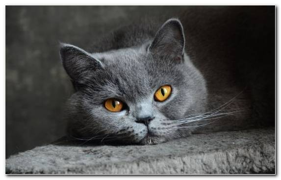 Image Dog Like Mammal Puppy Kitten Russian Blue British Semi Longhair