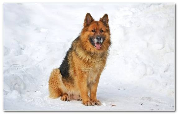 Image Dog Like Mammal Puppy Old German Shepherd Dog Australian Shepherd Labrador Retriever