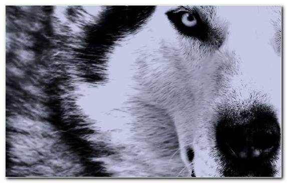 Image Dog Like Mammal Sakhalin Husky Fur Drawing Dog