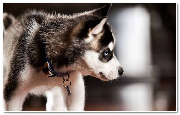 Image Dog Like Mammal Sled Dog Miniature Siberian Husky Pomeranian Alaskan Klee Kai