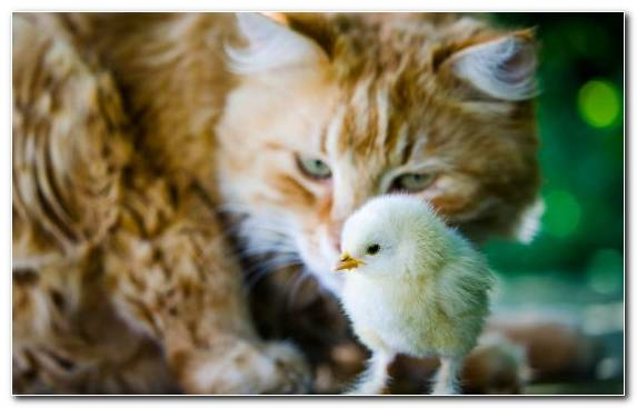 Image dog like mammal small to medium sized cats chicken dog snout