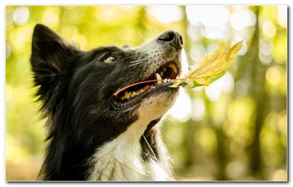Image dog like mammal snout dog breed collie border collie