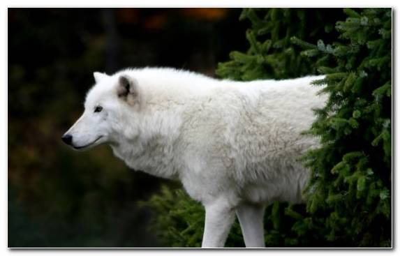 Image Dog Like Mammal Spruce Snout Tree Fauna