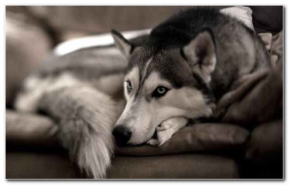 Image Dog Like Mammal Tamaskan Dog Dog Breed Husky Siberian Husky