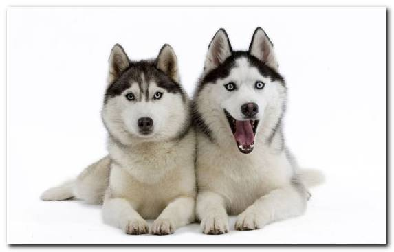Image Dog Like Mammal Vertebrate Sakhalin Husky Dog Breed Cuteness