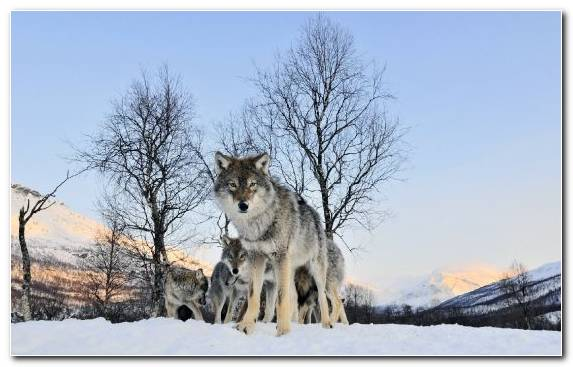 Image Dog Like Mammal Wildlife Fauna Mammal Snow