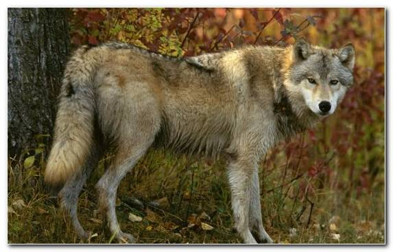 Image Dog Like Mammal Wildlife Fauna Wolfdog Mammal