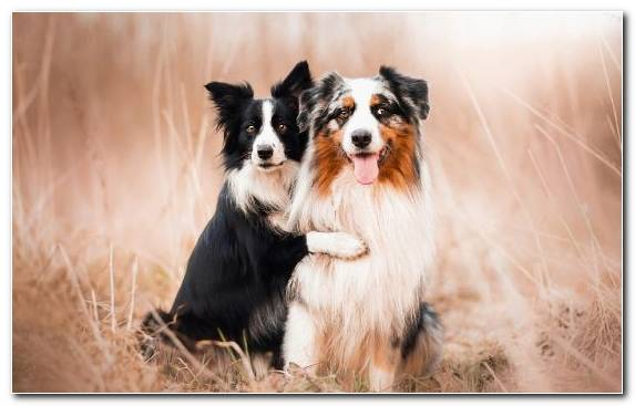 Image Dog Miniature Australian Shepherd Snout Rough Collie Dog Like Mammal