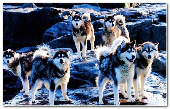 Image Dog Mushing American Eskimo Dog Puppy Seppala Siberian Sleddog