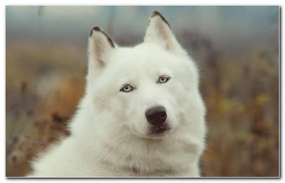 Image Dog Saarloos Wolfdog Dog Breed Greenland Dog Canis Lupus Tundrarum