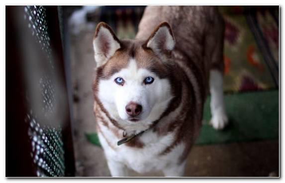 Image Dog Seppala Siberian Sleddog Alaskan Husky Dog Like Mammal Sled Dog