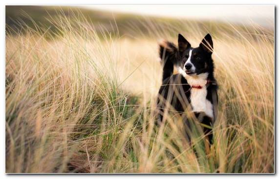 Image Dog Snout Labrador Retriever Puppy Border Collie
