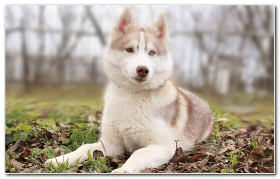Image Dog The Siberian Husky Siberia Siberian Husky Dog Like Mammal