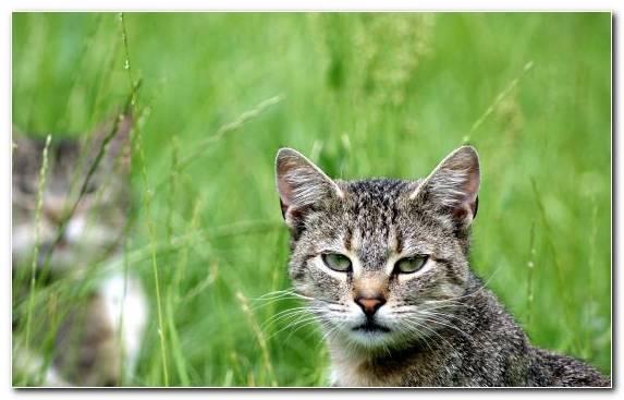 Image Dragon Li Grass Grasses Cat Wildlife