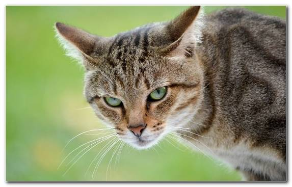 Image Dragon Li Kitten Animal Tabby Cat Maine Coon