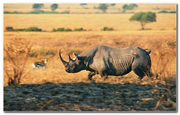 Image Drawing Rhinoceros Grazing Safari Black Rhinoceros