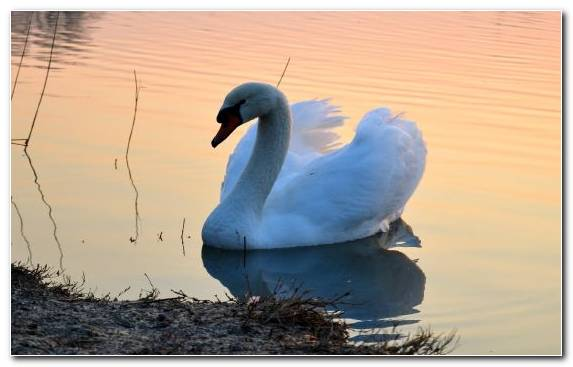 Image Ducks Geese And Swans Bird Feather Swan Waterfowl