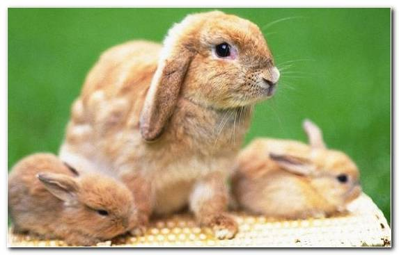 Image Dwarf Rabbit Rabits And Hares Whiskers Snout Hare