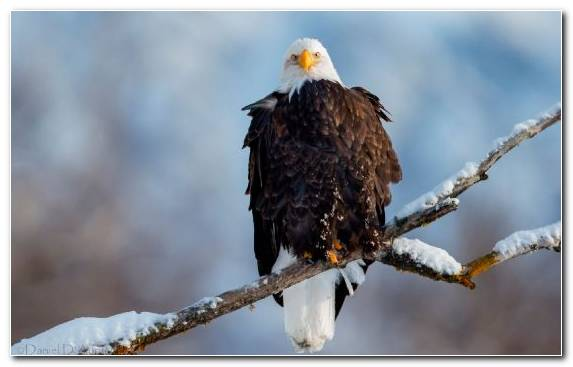Image Eagle Wildlife Branch Oryol Bird