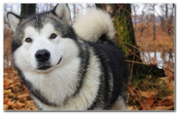 Image East Siberian Laika Alaskan Husky West Siberian Laika Tamaskan Dog Greenland Dog