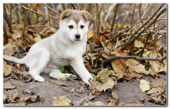 Image East Siberian Laika Canaan Dog Golden Retriever Sakhalin Husky Puppy
