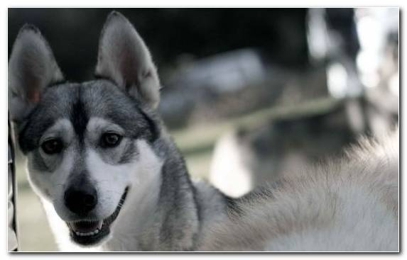 Image East Siberian Laika Dog Dog Breed West Siberian Laika Dog Breed Group