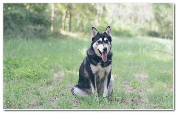 Image East Siberian Laika Kunming Wolfdog Husky Dog Grasses