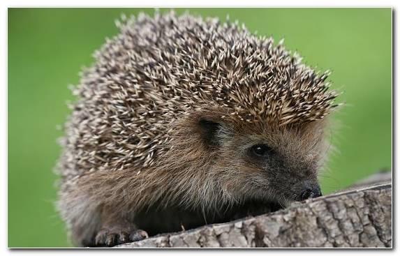 Image Echidna Fauna Erinaceidae Hedgehog Terrestrial Animal