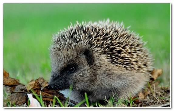 Image Echidna Hedgehog Porcupine Wildlife
