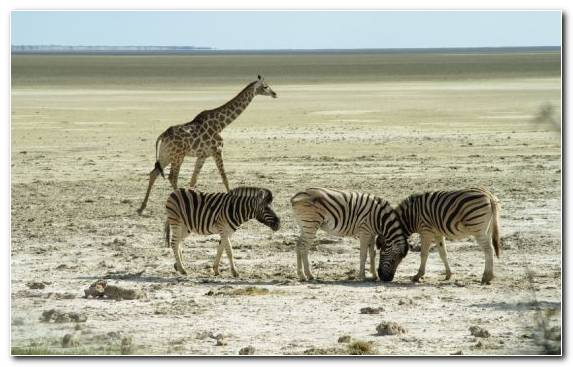 Image Ecoregion Zebra Etosha National Park Grassland Herd