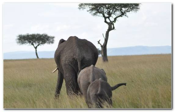 Image Ecosystem African Elephant Savanna Elephant Animal