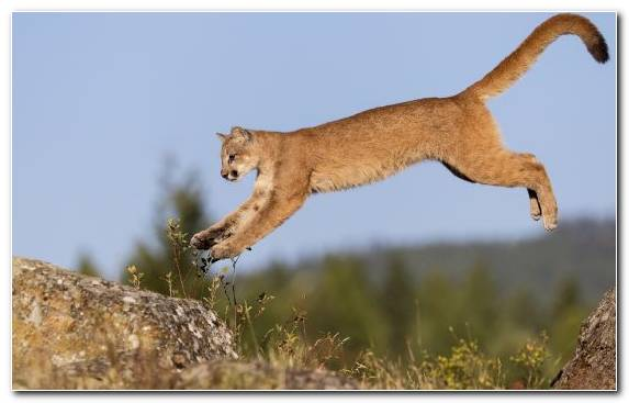 Image Ecosystem Big Cat Fauna Animal Puma